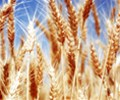 India: Planting of wheat lower by 7% even as rabi sowing nears end